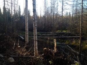 Träd fällda av bäver